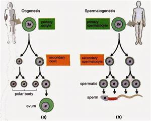 Gametogenesis Oogenesis And Spermatogenesis