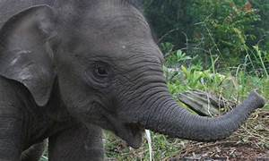 Sumatran Elephant   Photos   WWF