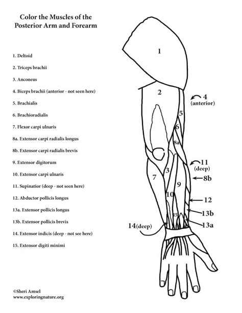 anatomy of a bone coloring arm bones coloring pages