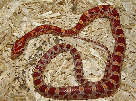 iherp answers what morph could this be