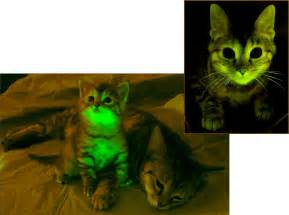 glow in the cat snomnh recent invertebrates green glowing cats and jellyfish