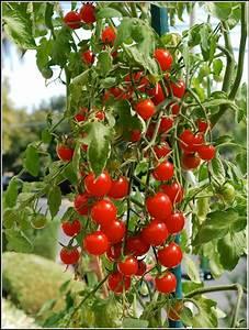 Tomaten Wann Pflanzen : tomaten pflanzen zeit tomaten pflanzen balkon zeit hauptdesign tomaten pflanzen balkon tomaten ~ Frokenaadalensverden.com Haus und Dekorationen