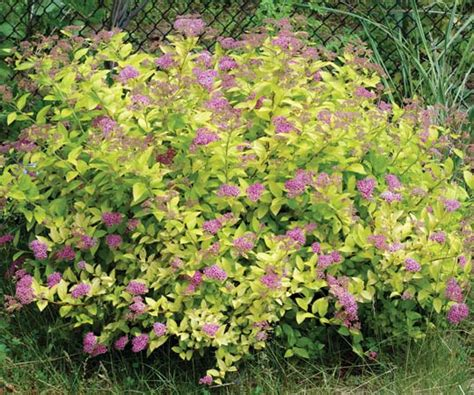 spirea plant britannicacom