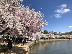 History Of The National Cherry Blossom Festival In