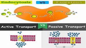 Filtration  Active Transport  Endocytosis And Exocytosis