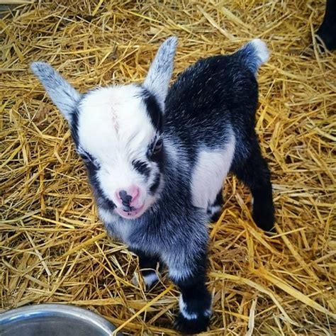 pygmy goats   wynnes  dinmore