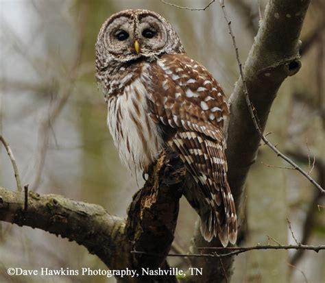 tennessee watchable wildlife barred owl habitat 1