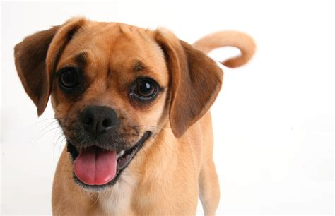 Do Pugs And Puggles Shed by Puggle Breeds At Mypetsmart