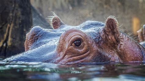 hippo horses river national know these ksdk