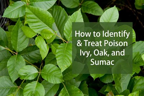 How To Identify And Treat Poison Ivy Poison Oak And