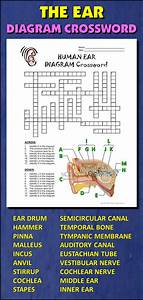 Ear Crossword With Diagram  Editable