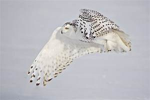 17 Best images about owls on Pinterest   Short eared owl ...