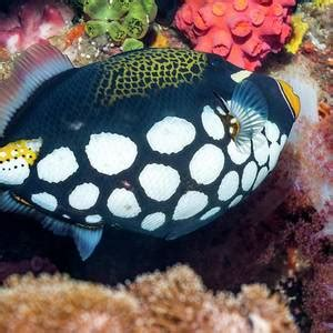 Clown Triggerfish Photograph by Georgette Douwma