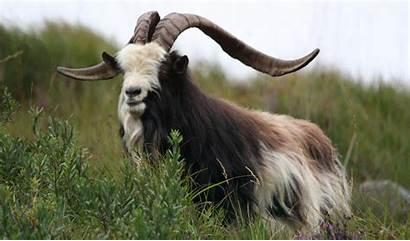 Irish Goats Breeds Rare Breed Profile Goat