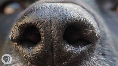 dogs nose    deep  kqed science