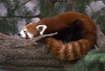 Panda Wallpapers Desktop Kalany Adaptations Behavioral Pandas