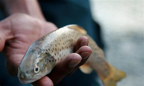 trout decline hits himalayan communities pakistan dawncom