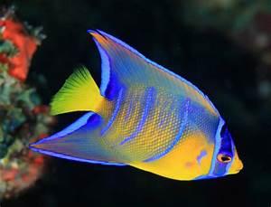 Queen Angelfish — Fish Laboratory