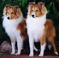 shetland sheepdog dog breed information puppies pictures