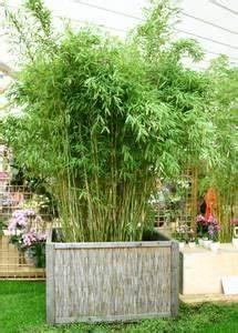 Bambus Als Sichtschutz Im Kübel : bambus bambus als k belpflanze pflege pflanzgef e berwinterung terrasse pinterest ~ Frokenaadalensverden.com Haus und Dekorationen