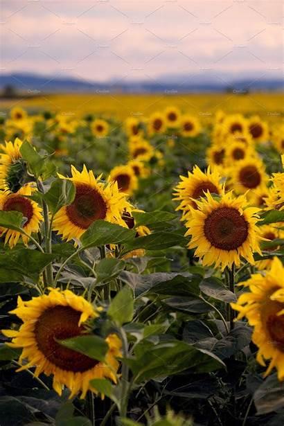 Sunflowers Nature Creative Sunset