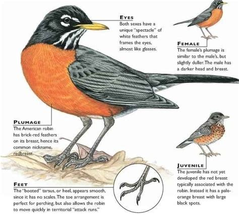 what color is a robin american robin nature animals american robin