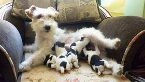 1330 best Wire Fox Terrier images on Pinterest | Wire fox ...