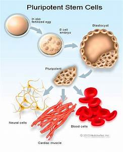 What Are Stem Cells  Research  Transplant  Therapy  Definition