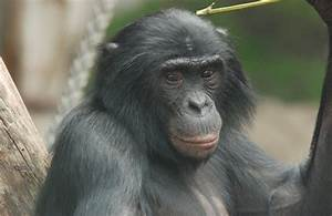 Can Great Apes Read Your Mind
