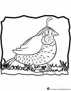 Quail Coloring Page - Coloring Home
