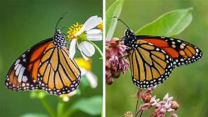 Monarch Miscalculation  Has A Scientific Error About The Butterflies Persisted For More Than 40