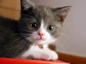 beautifull cat cats wallpaper 14749885 fanpop