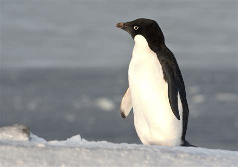 giant iceberg decimates antarctic penguin colonies unsw
