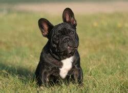 hundemantel französische bulldogge franz 246 sische bulldogge kfhund als beliebtes familienmitglied