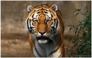 Powerful Lion Tiger Wallpapers Images hd Free Download ...
