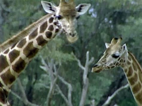 lives  giraffes