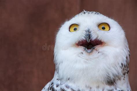 White Owl Meme - white owl with shocking meme face stock image image of midwest eyes 75723899