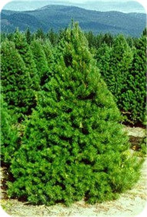 which variety of christmas tree available in the uk is