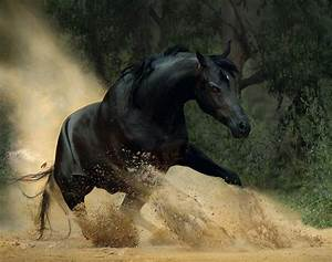 Black Arabian Horse Running