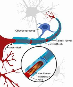 File Neuron With Oligodendrocyte And Myelin Sheath