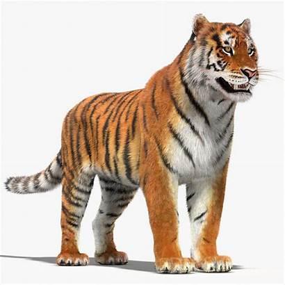Tiger Fur 3d Turbosquid Models