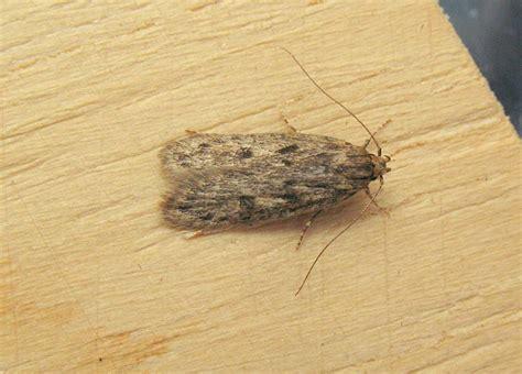 small gray moths in kitchen quicua com