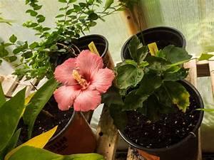 Rosen Im Topf überwintern : hibiskus berwintern pflanzzeit idealer standort plantura ~ Orissabook.com Haus und Dekorationen