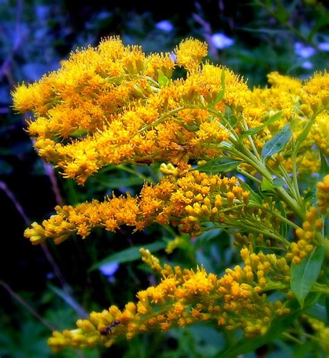 weeds with yellow flowers yellow weed goldenrod flower by jocelyner on deviantart