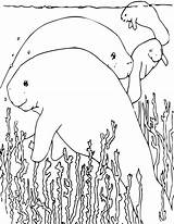 Manatee Coloring Pages Animals Manatees Printable Manati Sheets Animal Colouring Sea Cow Fun Education Wpclipart Pixabay Line Adults Squidoo Formats sketch template