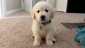 50 Most Adorable Golden Retriever Dog and Puppies Gallery ...