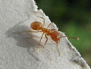 Kleine Rote Ameisen Im Garten 4271 by Gelbe Wiesenameise