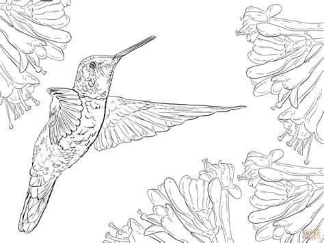 Magnificent Hummingbird Coloring Page Free Printable