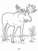 Elk Coloring Ausmalbilder Elch Animals Ausdrucken Malvorlagen Kostenlos Zum sketch template