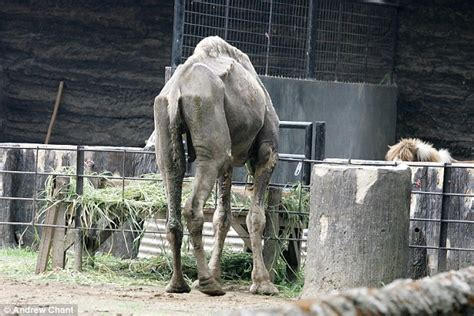 zoo animal cage hanging death animals surabaya elephant enclosure lion last camel indonesian found abuse emaciated several month its indonesia